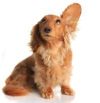 dog-listens_large